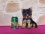 Extraordinario cachorrito Yorkshire