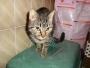 Tigresa, gatita muy cariñosa de 1 año, en adopción