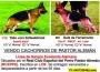 Cachorros  Pastores Alemanes con linea de Sangre Excelente Alemana. RCEPPA Y LOE