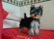 costalago yorkshire terrier