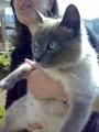 Regalo gatitos siameses