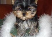 Lindo y adorable yorkie cachorros gratis adopción ...