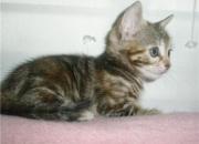 Diana, gatita bebé en adopcióin, es preciosa