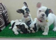 Hermoso cachorros bulldog francés para la venta