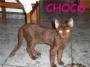 Choco y Mili, gatitas de 3 meses en adopción. Barcelona