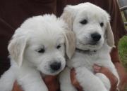 cachorros de golden retriever para su aprobación