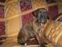 Boxer -  cachorros y regalo