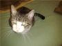 Popito, gato joven y casero encontrado perdido en la calle