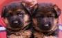 Vendo perros pastor aleman cachorros