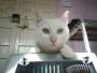 Paco, gatito blanco con un ojo de cada color