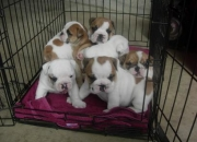 cachorros ingles bulldog  - REGALO