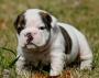 Tengo unos preciosos cachorros de Bulldog ingles