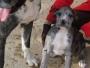 CACHORROS DOGOS ALEMANES PUROS AZUL Y ARLEQUIN
