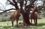 vendo caballos, yeguas, potros-as de pura raza española
