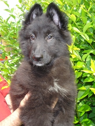 Cachorritos pastor belga groenendael