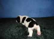 bulldog francés  listo para  una nueva casa cachorros.