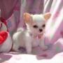 Dos mini cachorros chihuahua para adopcion