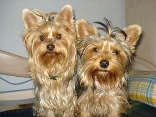 Vendo cachorros yorkshire a buen precio