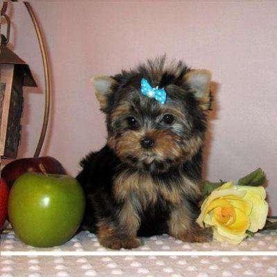 Regalo cachorros toy , de yorkshire terrier,