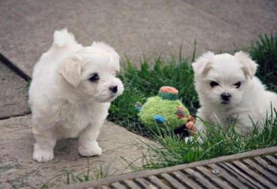 Pomeranian cachorros mini toy islas baleares