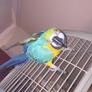Hermoso par de guacamayos azul y dorado disponibles